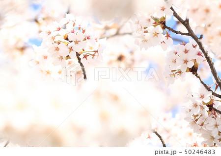 桜 ソメイヨシノ 春 イメージ 50246483