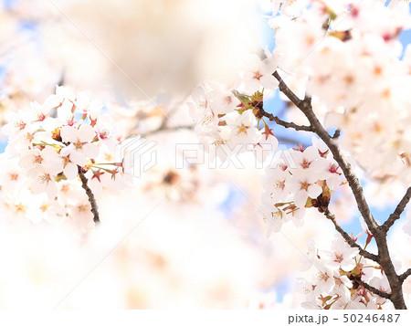 桜 ソメイヨシノ 春 イメージ 50246487