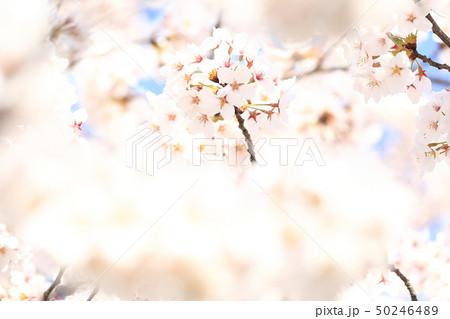 桜 ソメイヨシノ 春 イメージ 50246489