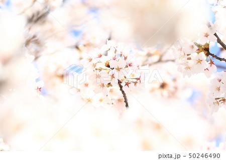 桜 ソメイヨシノ 春 イメージ 50246490