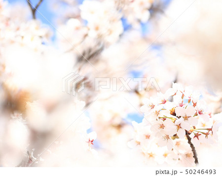 桜 ソメイヨシノ 春 イメージ 50246493