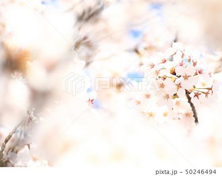 桜 ソメイヨシノ 春 イメージ 50246494