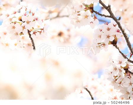 桜 ソメイヨシノ 春 イメージ 50246496