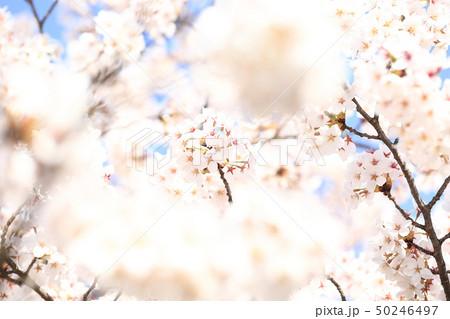 桜 ソメイヨシノ 春 イメージ 50246497