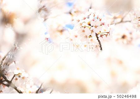 桜 ソメイヨシノ 春 イメージ 50246498