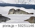 Crabeater seal resting on ice flow, Antarctica 50251146