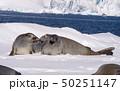 Crabeater seal resting on ice flow, Antarctica 50251147