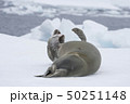 Crabeater seal resting on ice flow, Antarctica 50251148
