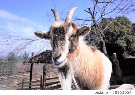 動物園のヤギ、群馬サファリパーク 50253054