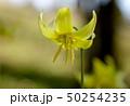 カタクリ 花 黄色の写真 50254235
