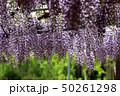 花 かざはやの里 藤の写真 50261298
