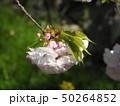 花の色が変化する桜「普賢象」 50264852