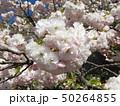花の色が変化する桜「普賢象」 50264855