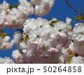 花の色が変化する桜「普賢象」 50264858