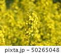 満開の菜の花畑 50265048