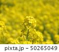 満開の菜の花畑 50265049