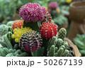 植物 サボテン さぼてんの写真 50267139