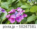 花 紫陽花 開花の写真 50267381