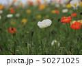 ポピー 花 アイスランドポピーの写真 50271025