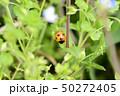 てんとう虫 天道虫 ナナホシテントウの写真 50272405