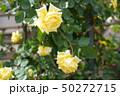 黄色いバラ 50272715