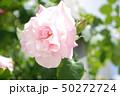 ピンクのバラ 2 50272724