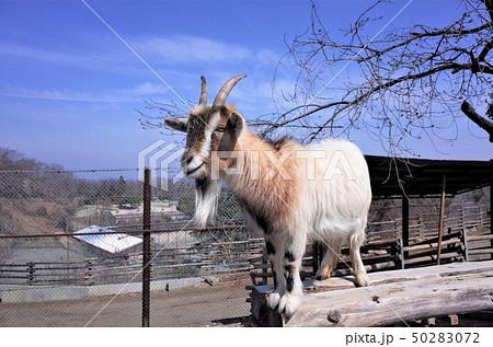 動物園のヤギ、群馬サファリパーク 50283072