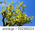 柿の若葉 50286024