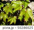 蔦の若葉 50286025