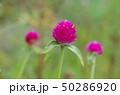 花 植物 葉の写真 50286920