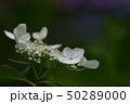 美しきアジサイの花 咲き誇る 50289000