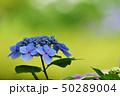 美しきアジサイの花 咲き誇る 50289004