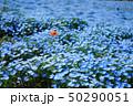 ネモフィラ 花畑 花の写真 50290051