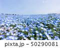 ネモフィラ ネモフィラ畑 ひたち海浜公園の写真 50290081
