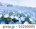 ネモフィラ ネモフィラ畑 ひたち海浜公園の写真 50290083