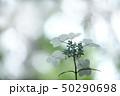 花 アジサイ アップの写真 50290698