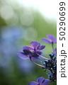 花 アジサイ アップの写真 50290699