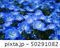 瑠璃唐草 ネモフィラ 青の写真 50291082