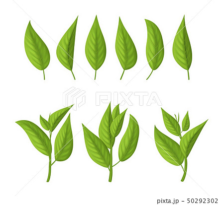 Realistic 3d Detailed Green Tea Leaves Set. Vector 50292302