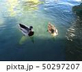 カルガモ 鴨 50297207