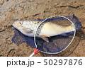 ワンド 釣り 魚の写真 50297876