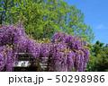 花 春 藤の写真 50298986