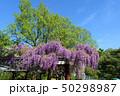 花 春 藤の写真 50298987