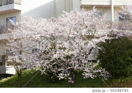 桜 春 50299795