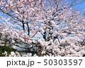 日本の桜 50303597