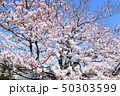 日本の桜 50303599