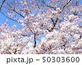 日本の桜 50303600