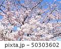 日本の桜 50303602