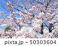 日本の桜 50303604