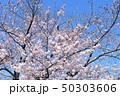 日本の桜 50303606